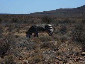 Die seltene Spezies Bergzebra